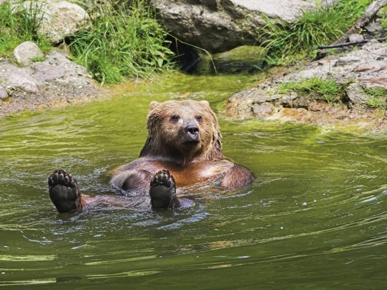 Ein Bär badet im See des Wisentgeheges